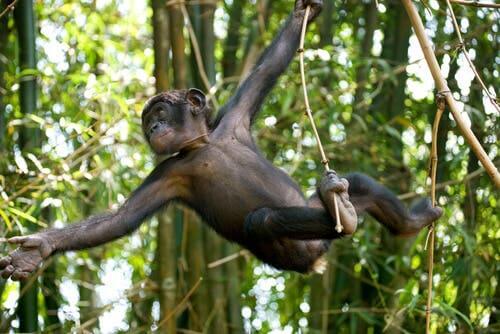 Uma nova espécie de chimpanzé extinto