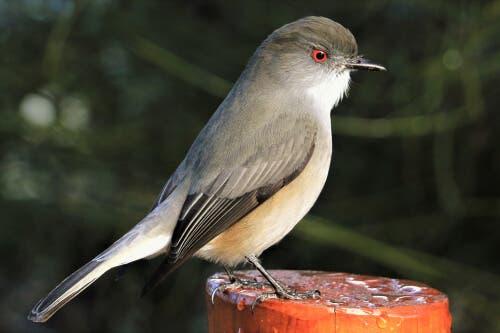 A diuca: um pássaro pequeno e muito comum