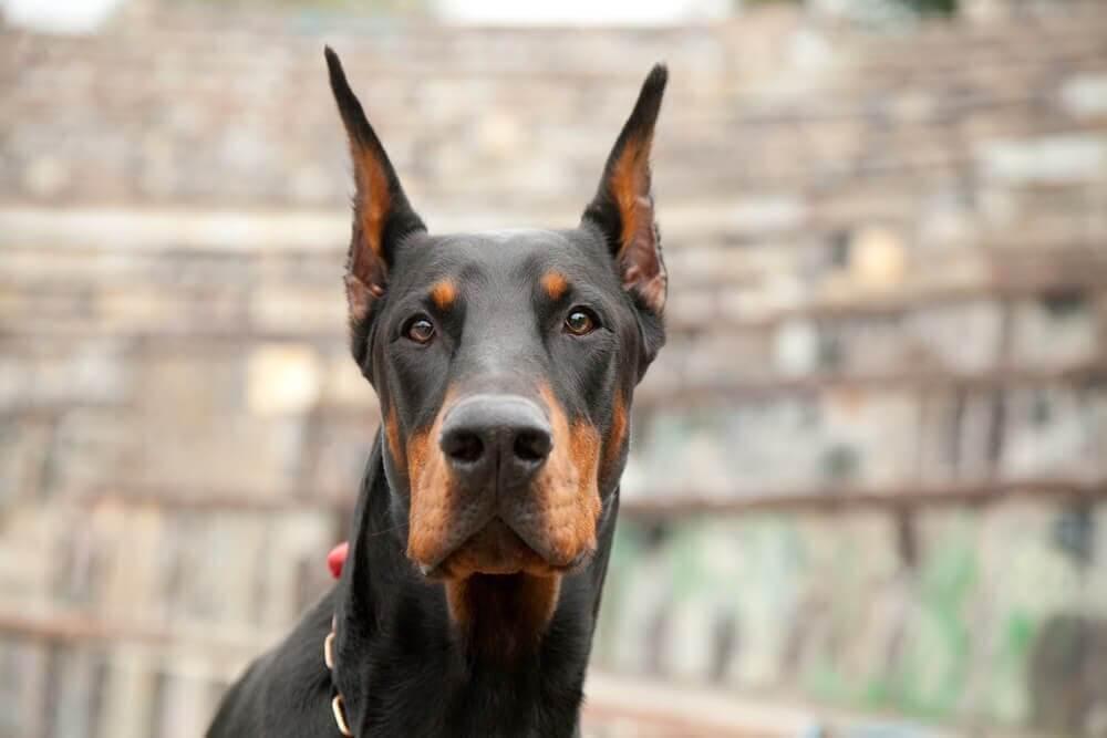 6 passos para educar um cão doberman