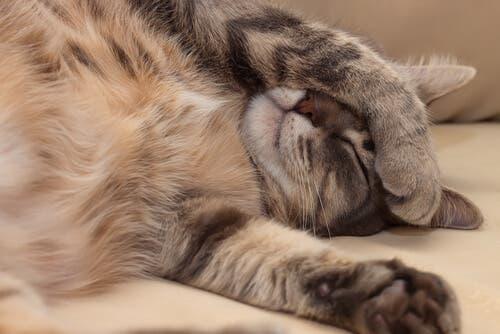 Como reconhecer doenças cardíacas em gatos