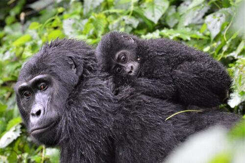 Uma família de gorilas é mais complexa do que parece