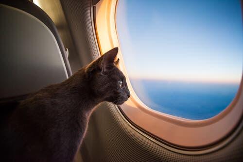 Saiba como os gatos chegaram à América