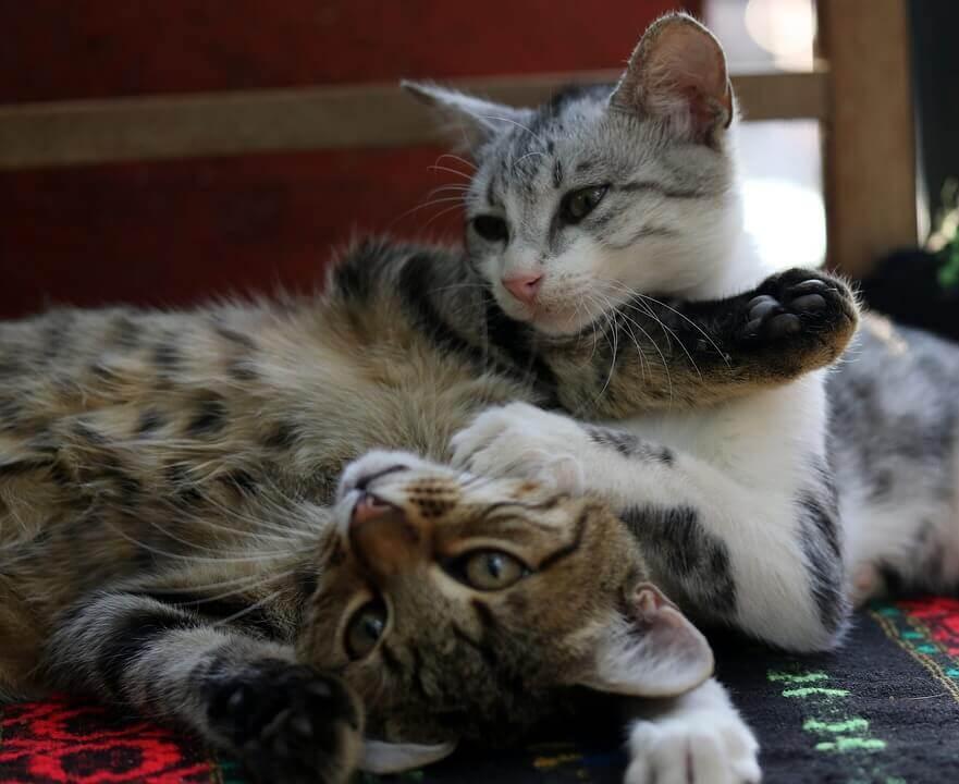 Como apresentar dois gatos