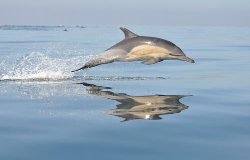Características do golfinho comum
