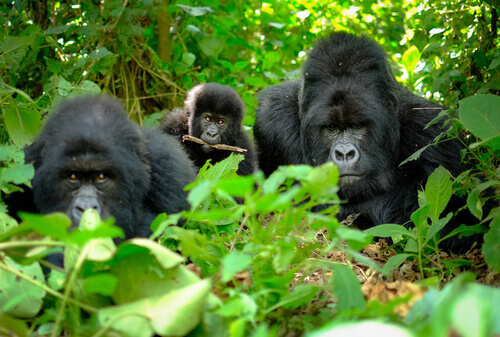 Conheça a família de gorilas