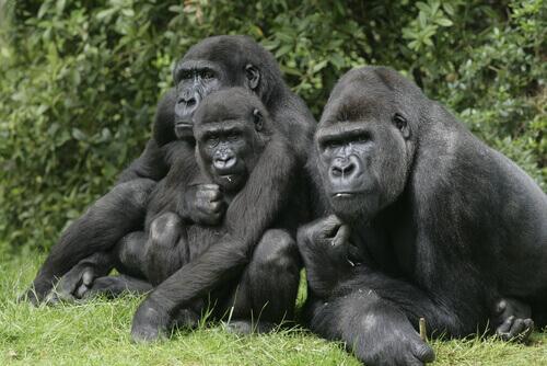 As redes sociais do gorila