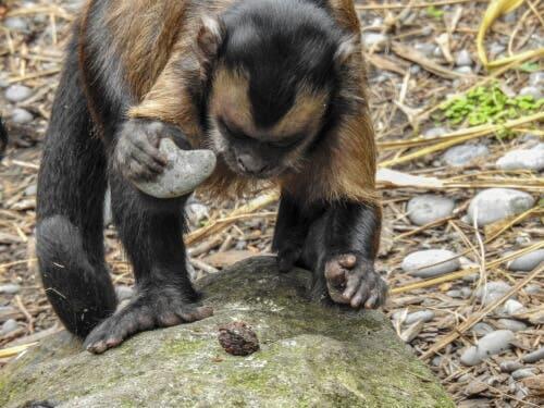 Macacos no Brasil