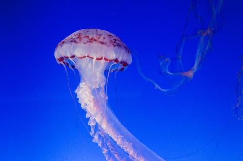 Alimentação das medusas