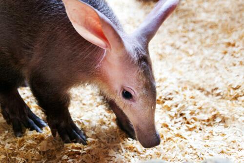 O porco-formigueiro: um aliado silencioso da biodiversidade