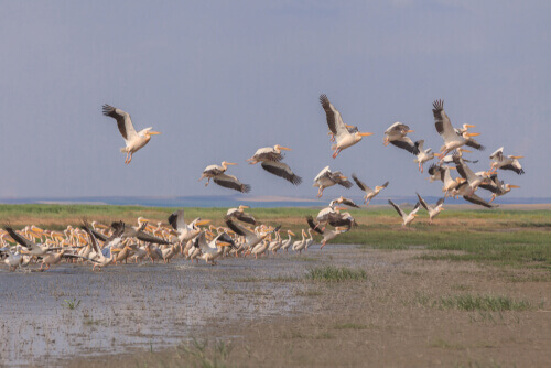 Tudo sobre o pelicano-branco