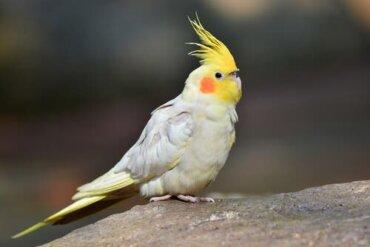 O periquito calopsita: um animal de estimação extraordinário