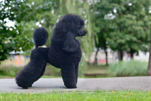 variedades de poodle