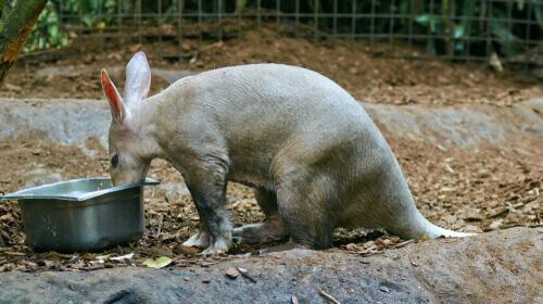 O porco-formigueiro