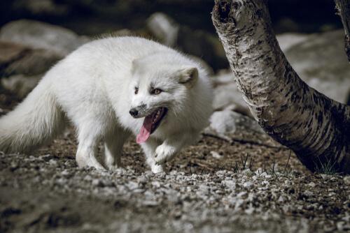 Por que uma raposa-do-ártico viajou 3.500 quilômetros?