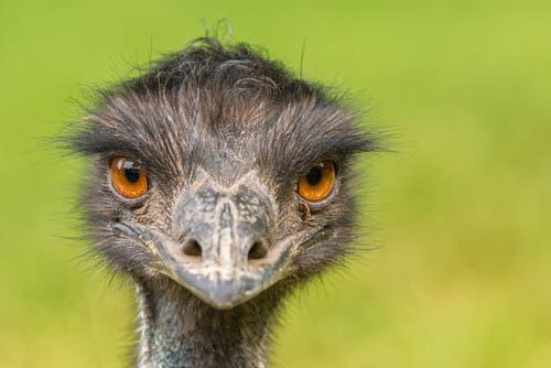Emu: uma das maiores aves