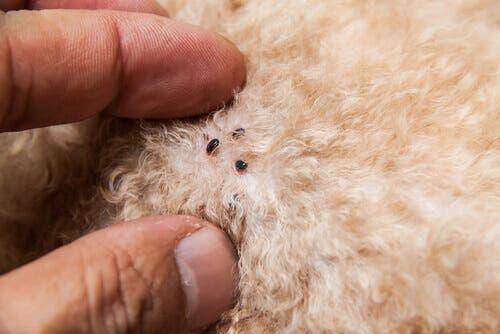 Como saber se o animal está livre de pulgas?
