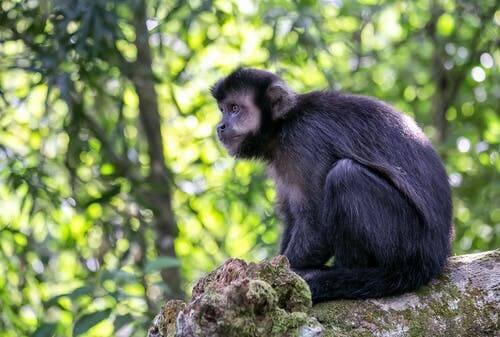 Um estudo sobre os macacos que usam ferramentas