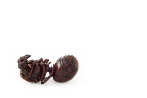 Atta laevigata: uma das formigas-cortadeiras mais comuns