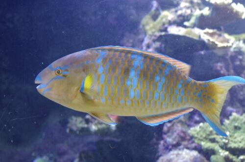 Características do peixe-papagaio na hora de dormir
