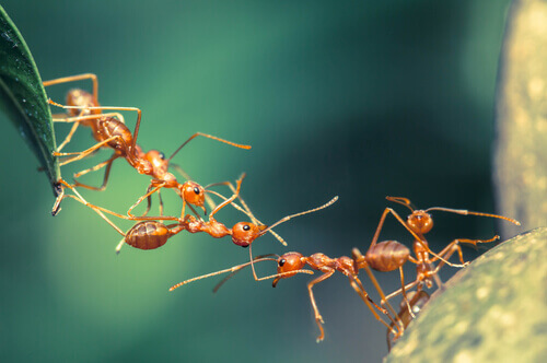 A comunicação entre as formigas