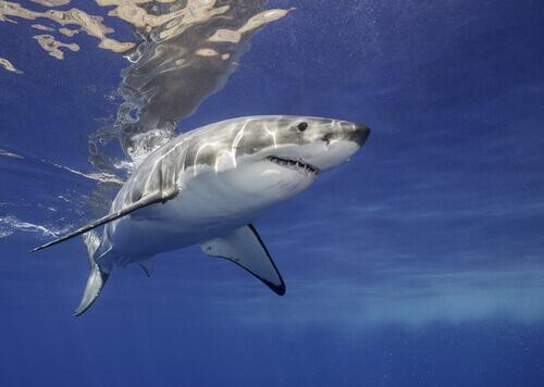 Alimentação do tubarão-branco