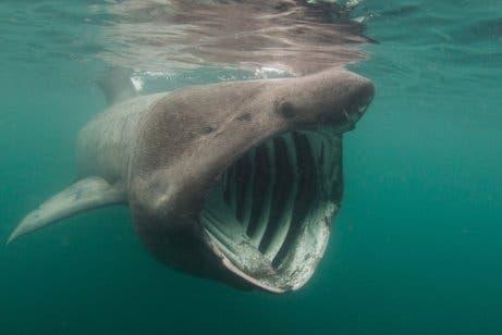 Tubarão-elefante
