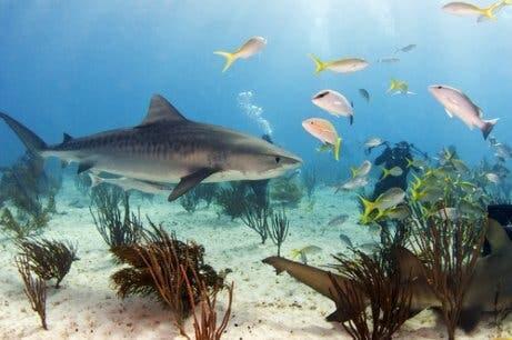 Os maiores tubarões do planeta