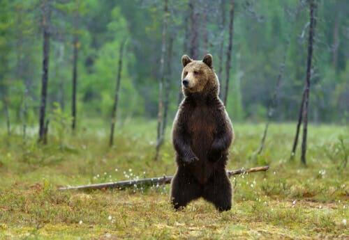 O urso pardo, características e curiosidades