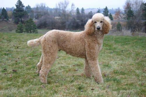 As 4 variedades de poodle