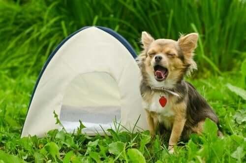 Como acampar com seu cachorro?