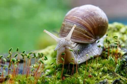 O caracol é hermafrodita