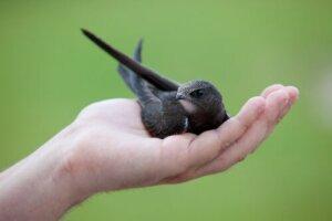 Os filhotes de andorinhão-preto podem precisar da sua ajuda