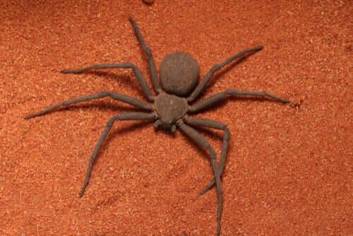 As aranhas Sicarius e sua verdadeira letalidade