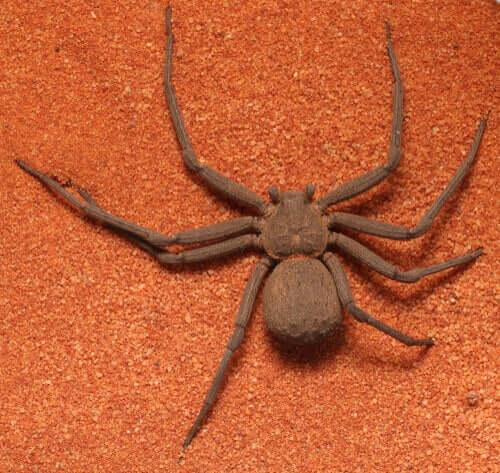 Quais são as características importantes de se saber sobre a aranha sicário?