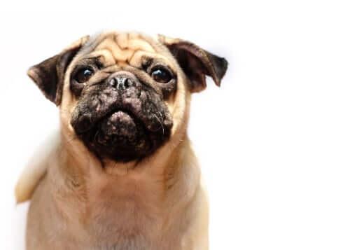 Tratamentos para a acne em cães