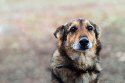 Transtorno obsessivo-compulsivo em cães: sintomas e tratamento