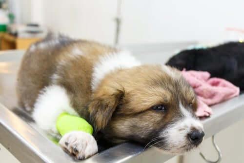 Vasculite em cães: o que devemos saber?