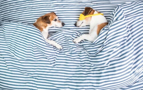 Por que os cães arranham o local de dormir?