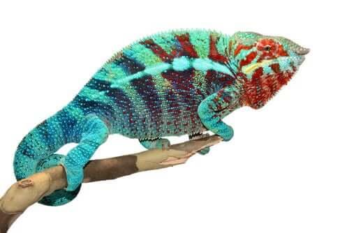 Por que os camaleões mudam de cor?