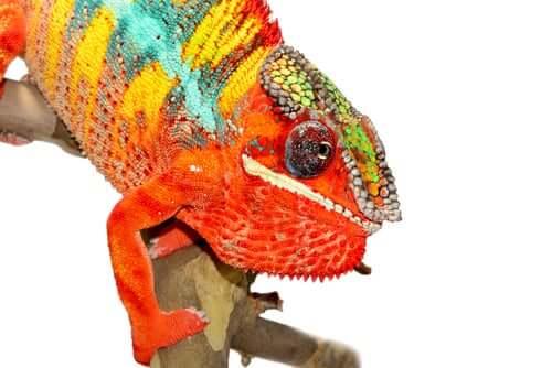 os camaleões mudam de cor