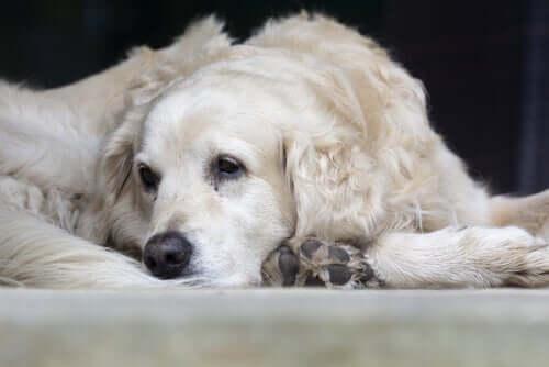 Causas mais comuns da pneumonia em animais de estimação