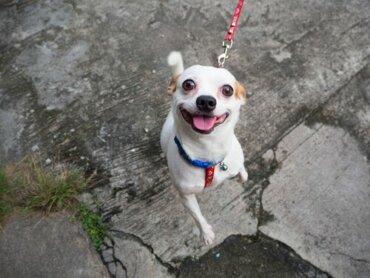 Cães que perdem o interesse pelo tutor ao sair de casa