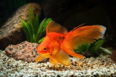 Causas de inchaço em peixes: hidropsia