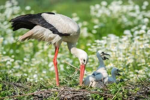 A migração da cegonha-branca