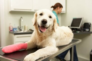 Cuidados após cirurgia ortopédica em cães