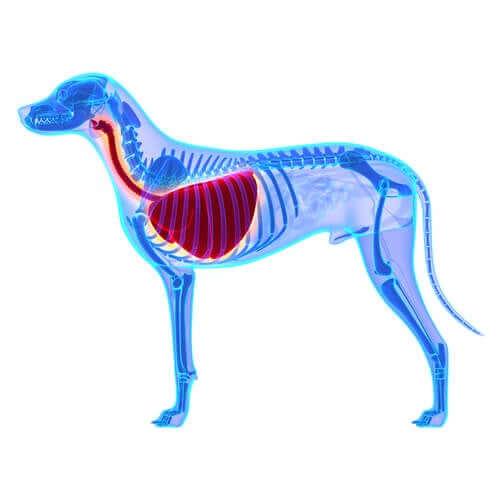 O que é edema pulmonar em cães?