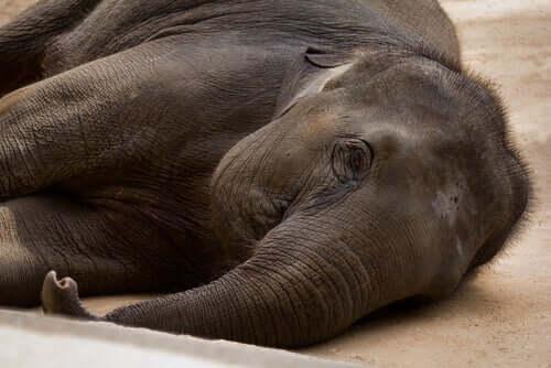 Dispositivos de sujeição e contenção de elefantes (ERD)