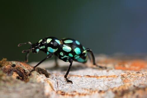 Pachyrrhynchus: a joia de seis patas das florestas asiáticas