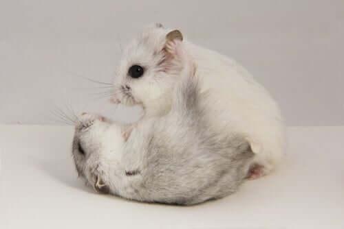 Tumores em roedores: como lidar?
