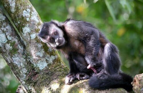 Macacos que usam ferramentas há 3000 anos
